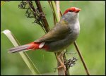 Red_browed_firetail_finch_birdwatching[1]